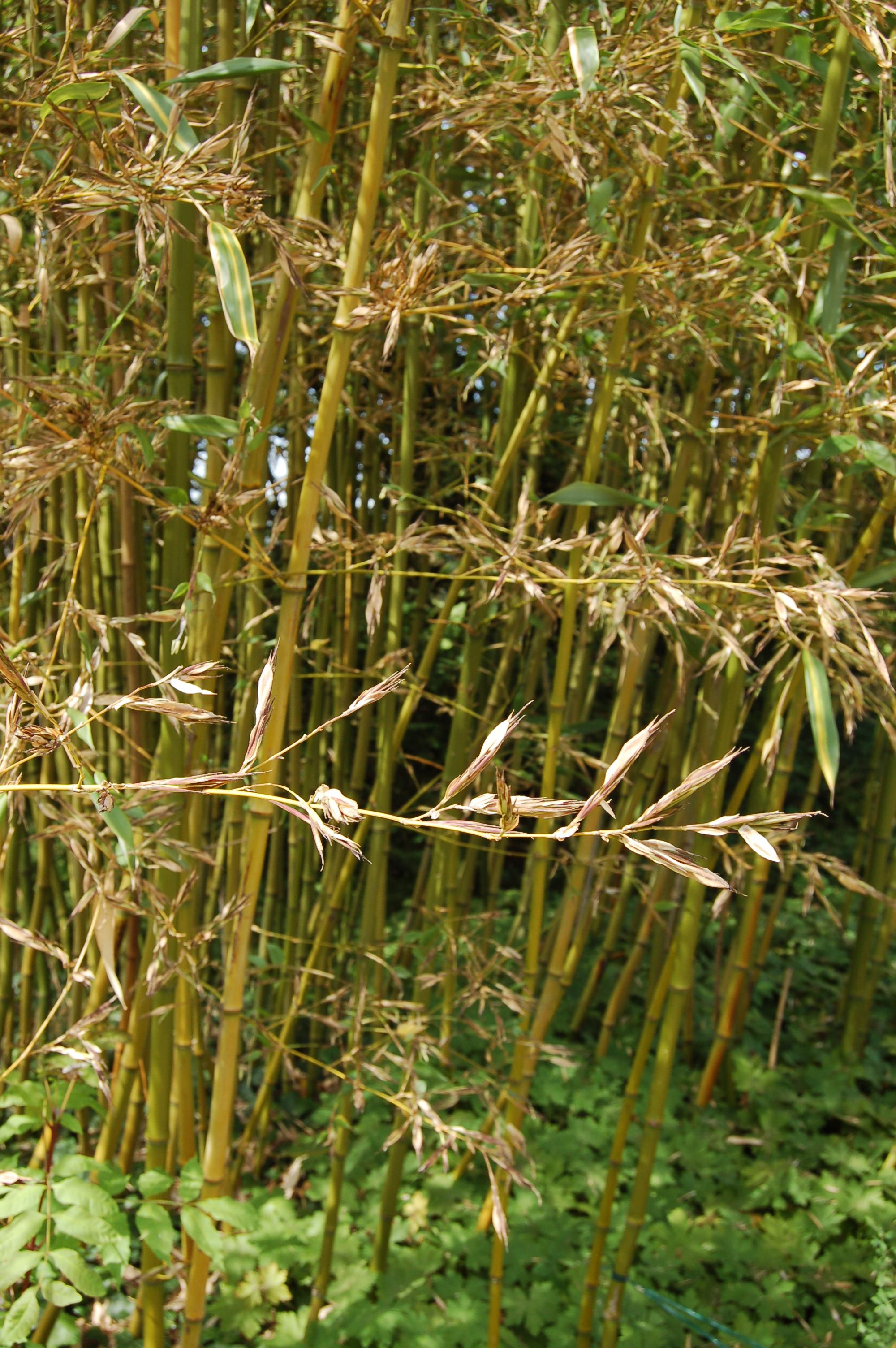 Fabelhaft Bambus-Blüte | bambus-deutschland.de &XY_39