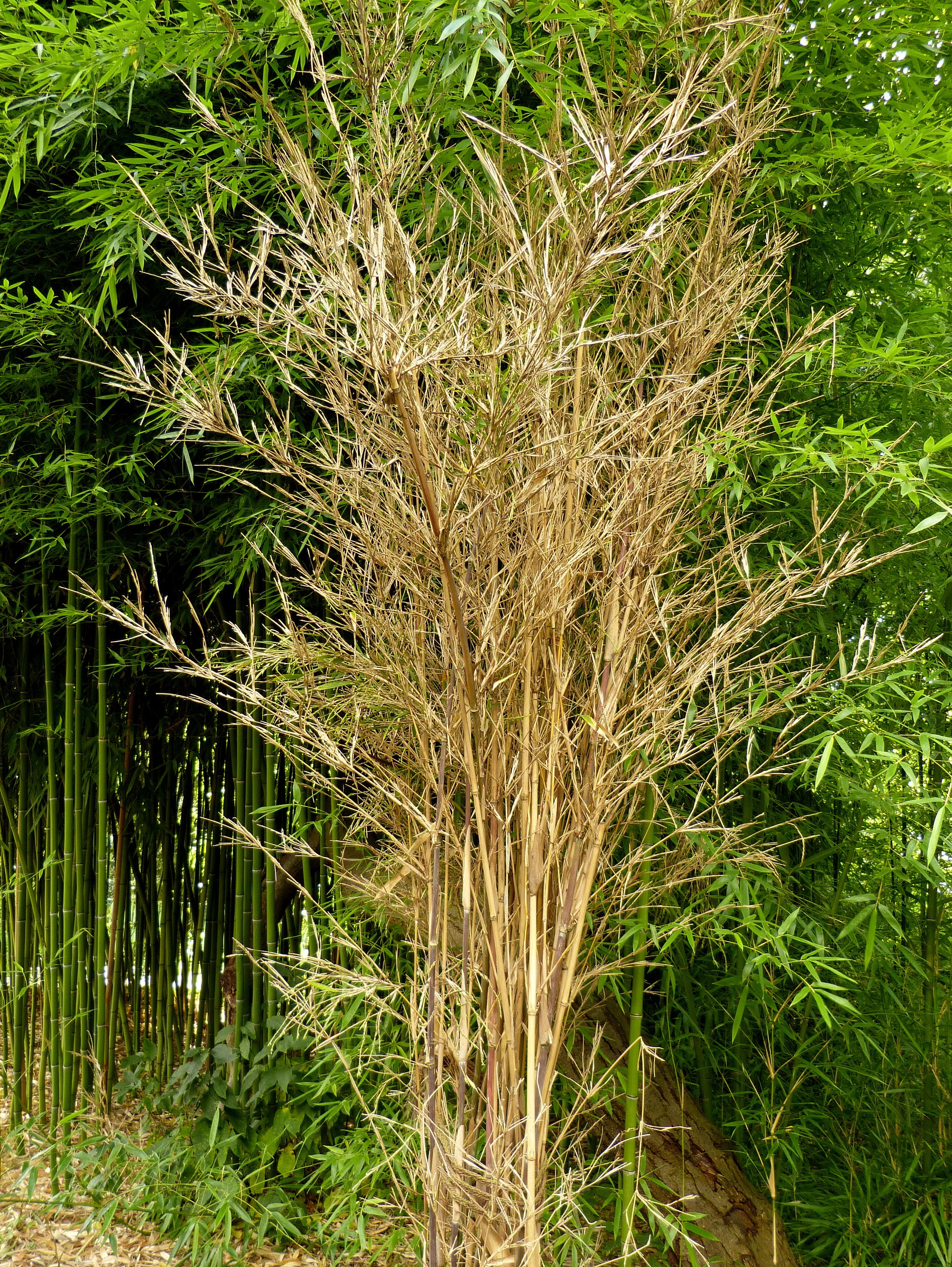 Beliebt Bevorzugt Bambus-Blüte | bambus-deutschland.de #KB_56